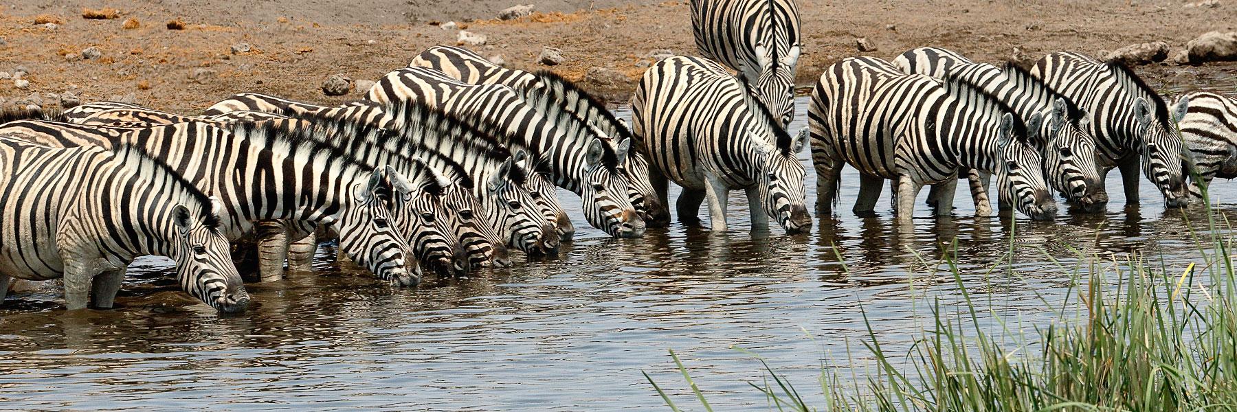 Zèbres-Etosha-Namibie